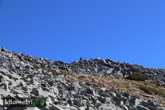 Wild goats in the Kabata area, Pirin mountain